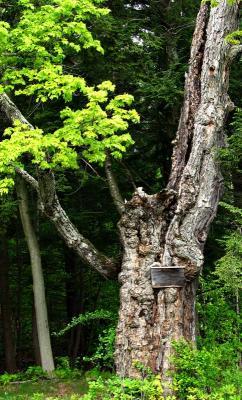 Witness Tree