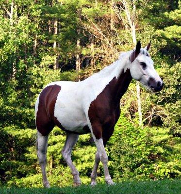 Beautiful Painted Horse