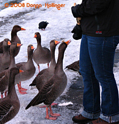 Graylag Geese