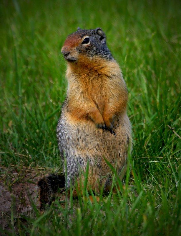 ColumbianGround Squirrel