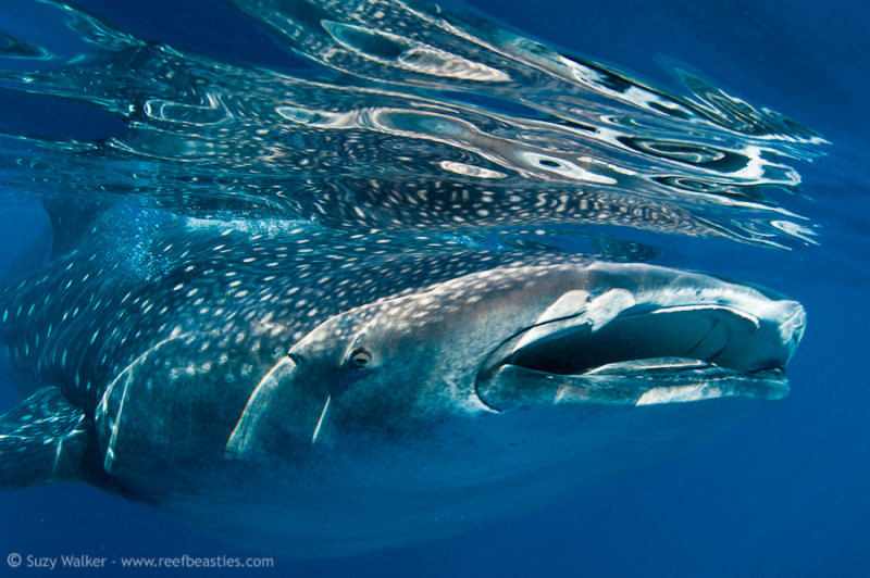 Whaleshark reflections