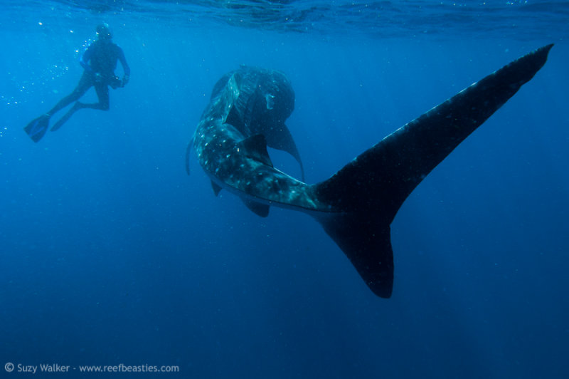 Whaleshark with free diver