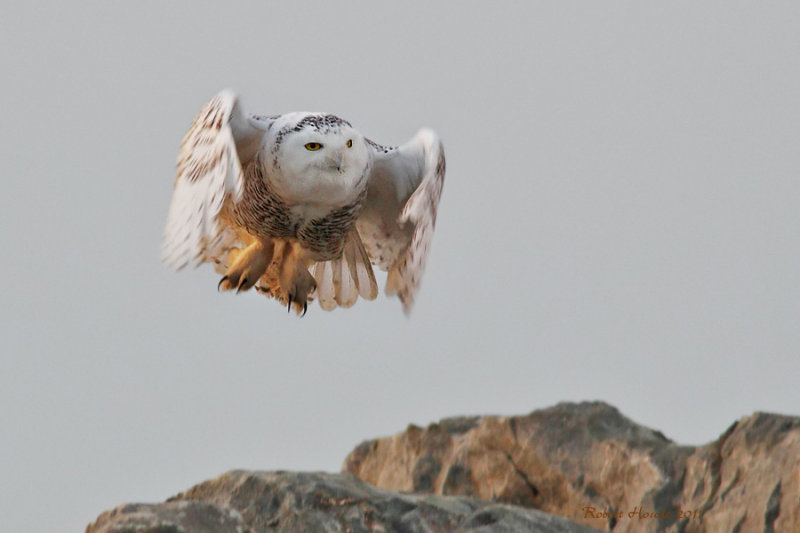 Harfang des neiges -- _E5H9855 -- Snowy Owl