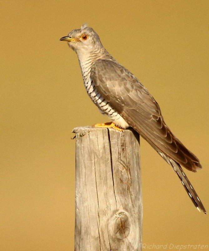 Koekoek - Cuculus canorus - Cuckoo