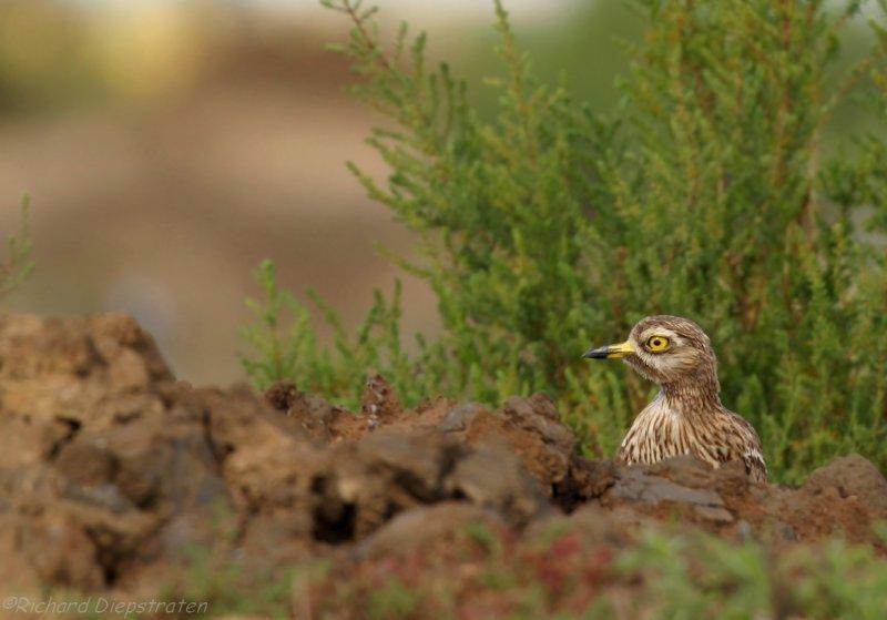 Griel - Burhinus oedicnemus - Stone Curlew