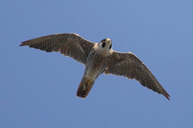 Peregrine falcon (falco peregrinus), Echandens, Switzerland, July 2011