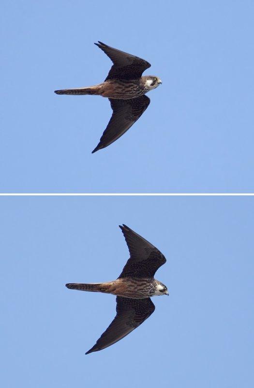 Eleonoras falcon (falco eleonorae), Mirador del Rio (Lanzarote), Spain, September 2011