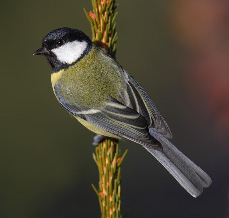 Great tit (parus major), Ayer, Switzerland, November 2011