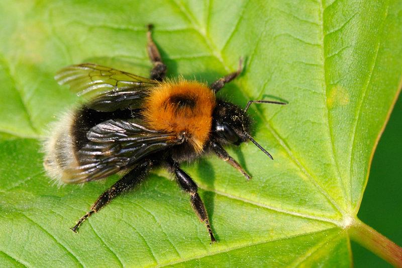 New garden bumblebee. tree bumblebee, Bombus hypnorum, Hushumle 1
