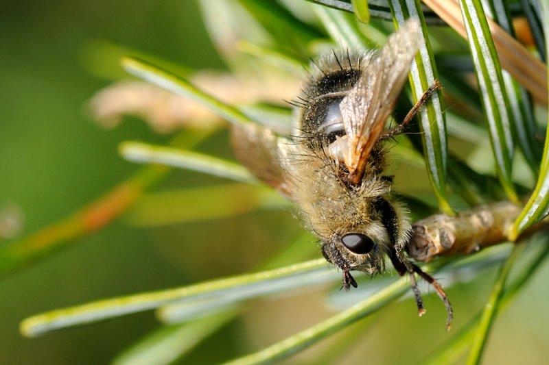 Tachina ursina, Bjørnesnylteflue 1