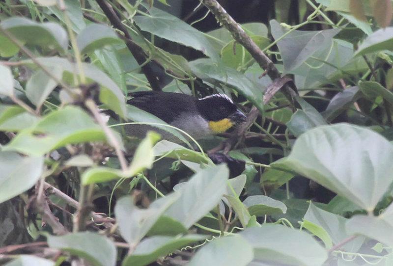 Yellow-throated Brush-Finch