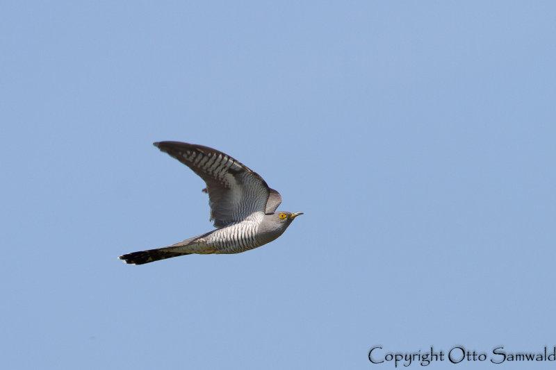 Common Cuckoo - Cuculus canorus