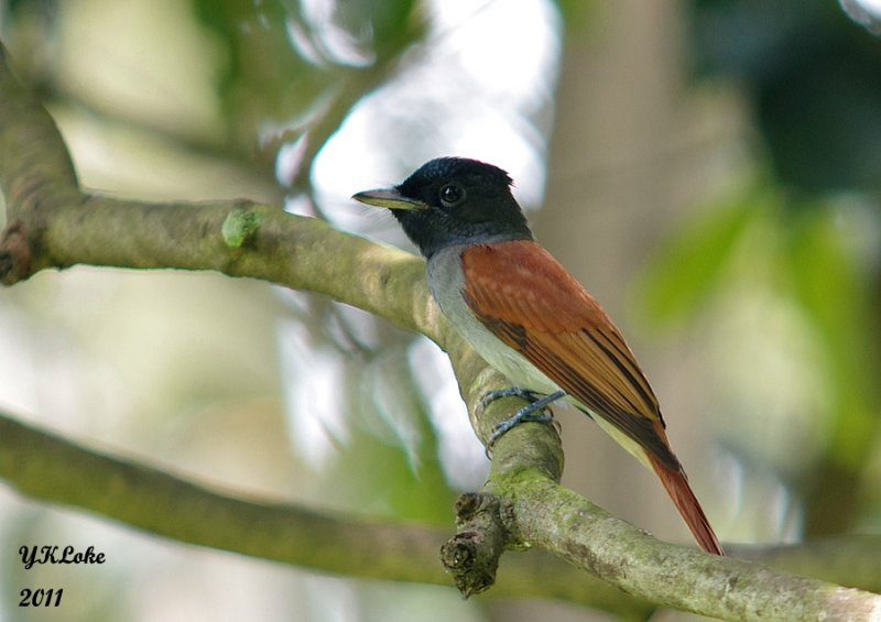 Asian Paradise Flycatcher