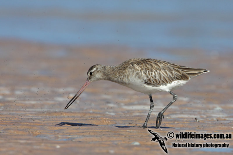 Bar-tailed Godwit a4580.jpg