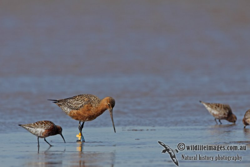 Bar-tailed Godwit a9024.jpg