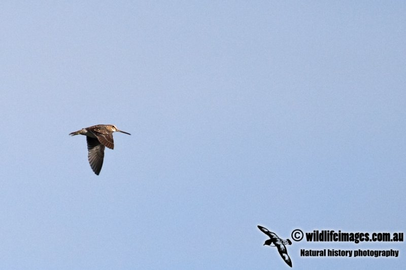 Pin-tailed Snipe a9133.jpg