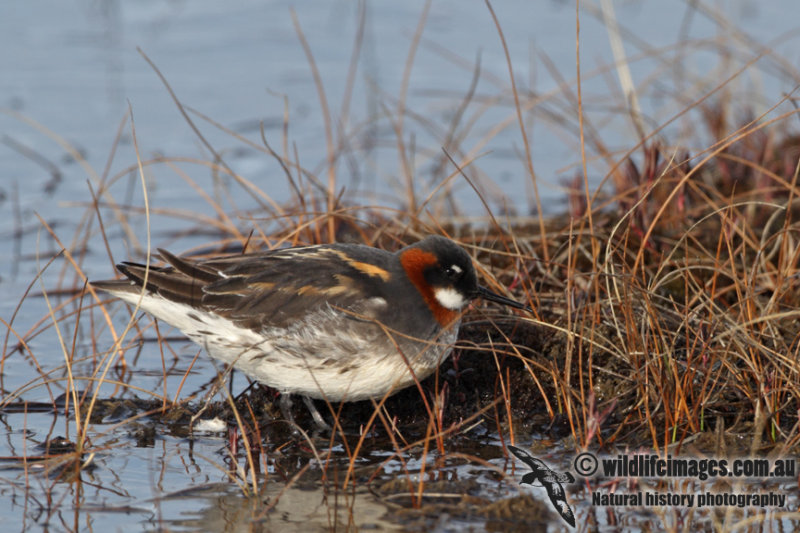 Red-necked Phalarope a5996.jpg