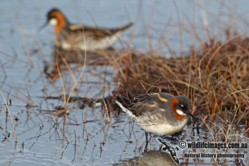Red-necked Phalarope a6012.jpg