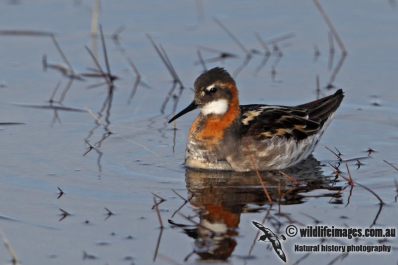Red-necked Phalarope a6024.jpg