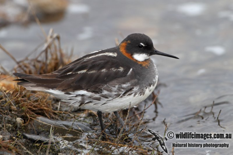 Red-necked Phalarope a7060.jpg