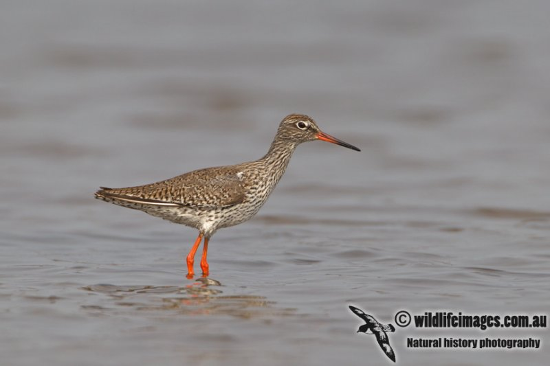 Common Redshank a0787.jpg