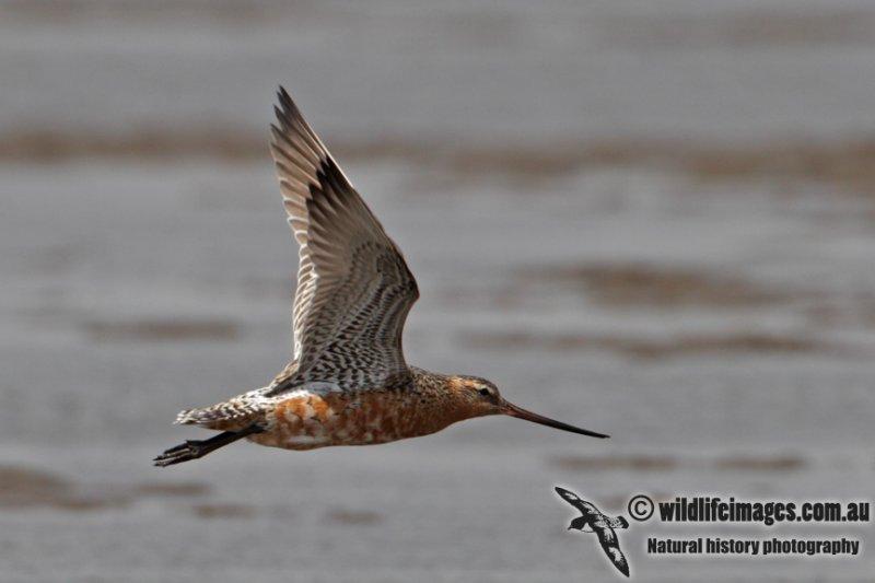 Bar-tailed Godwit a4001.jpg