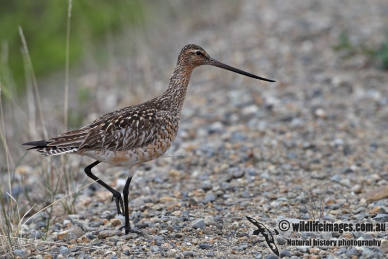 Bar-tailed Godwit a7088.jpg