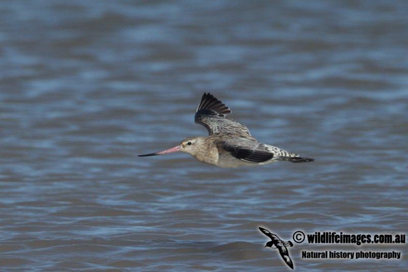 Bar-tailed Godwit a4701.jpg