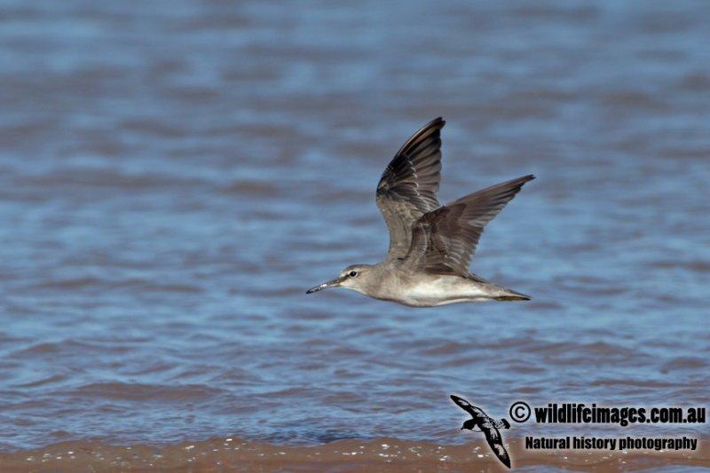 Grey-tailed Tattler a4707.jpg
