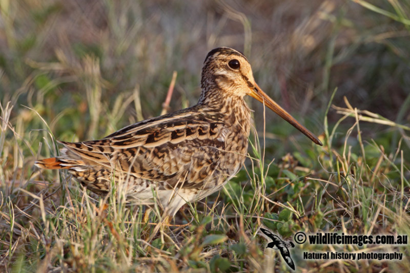 Swinhoes Snipe a4909.jpg