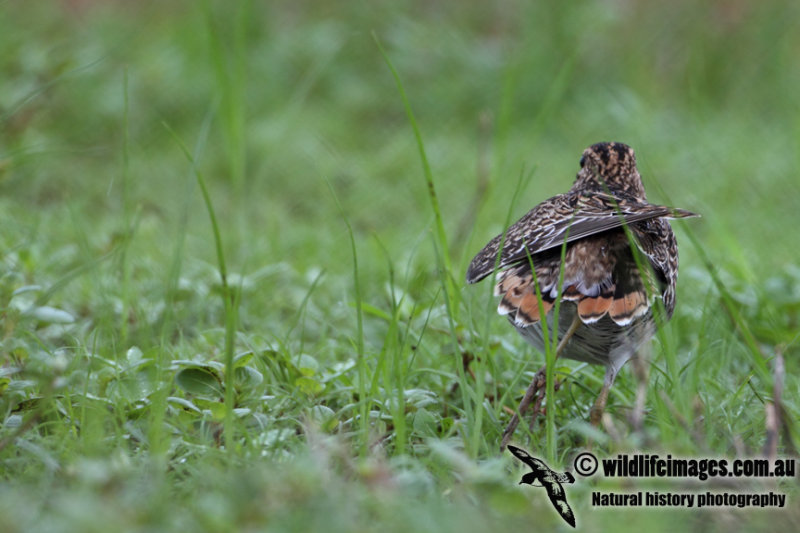 Pin-tailed Snipe a9699.jpg
