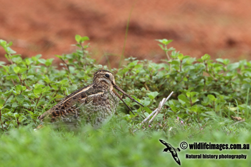 Pin-tailed Snipe a9745.jpg