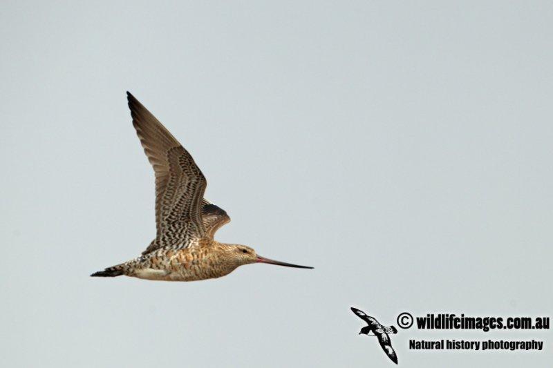 Bar-tailed Godwit a8304.jpg