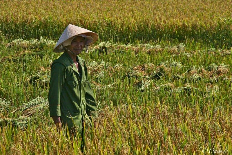 Harvest near Hué.