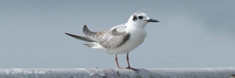 Tern, White-winged @ Kranji