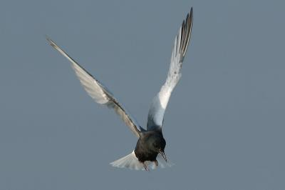 Tern, White-Winged (breeding) @ Kranji