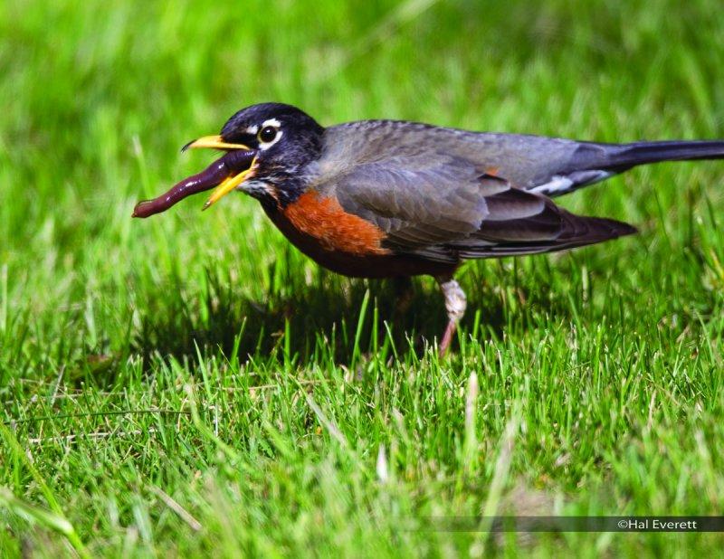 American Robin and Earthworm