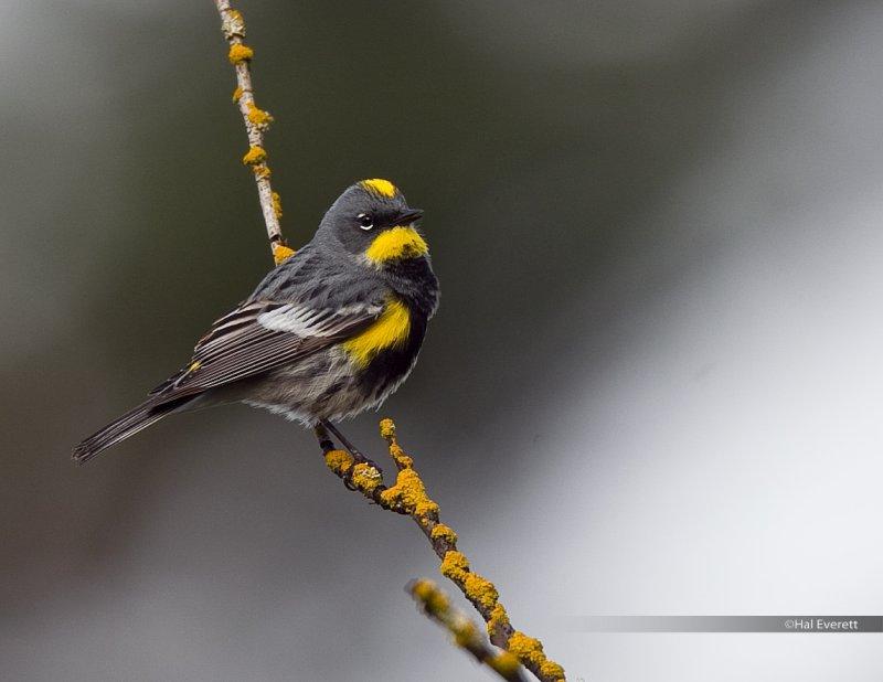 Audubons Yellow Rumped Warbler
