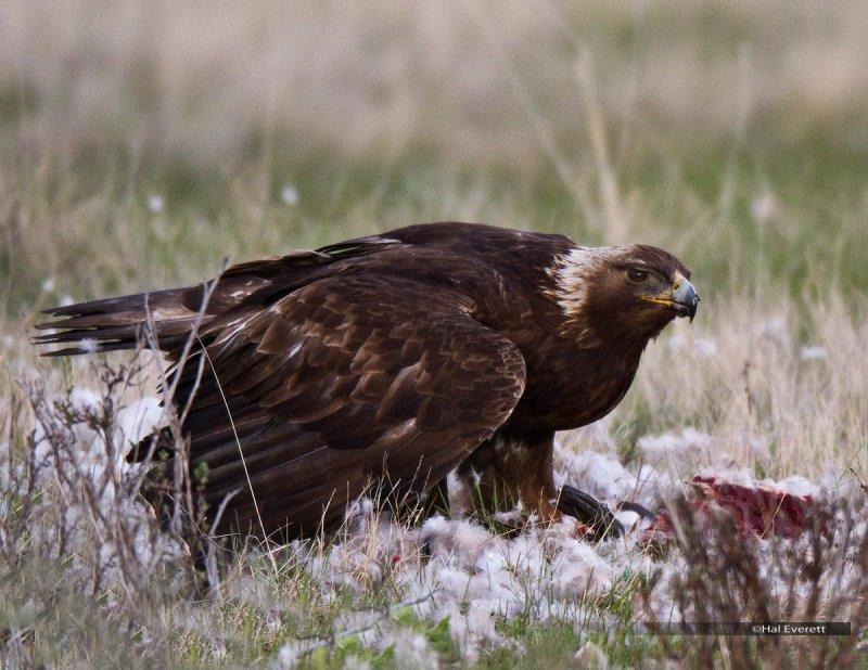 Golden Eagle Consuming Canada Goose