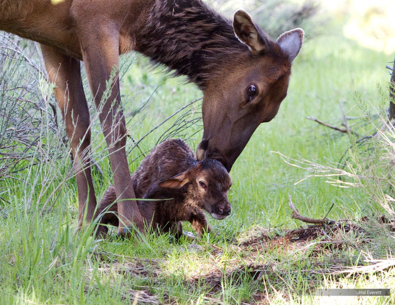 Elk Cow Licking Her Minutes Old Calf
