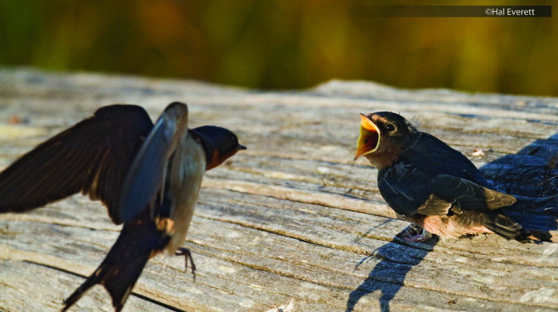Barn Swallow Fledgling and Parent