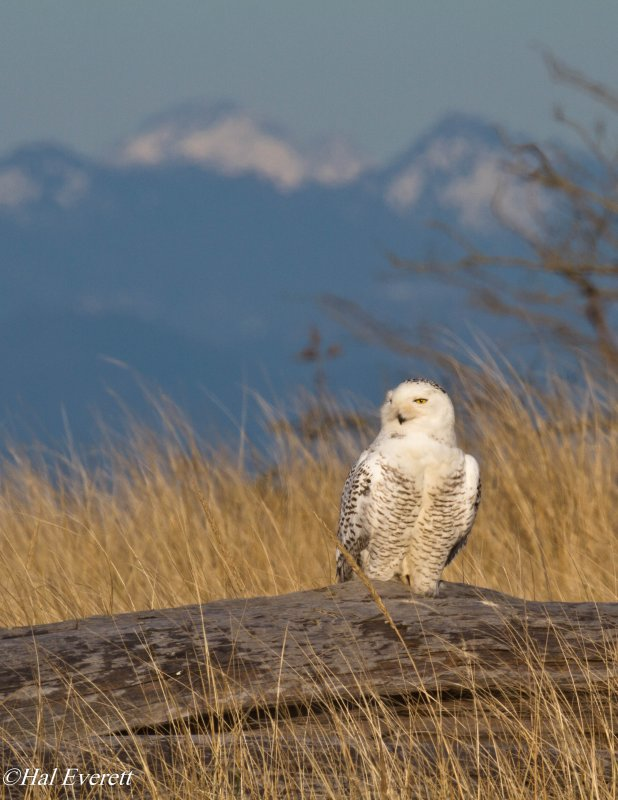 Snowy Owl and Olympic Mountains