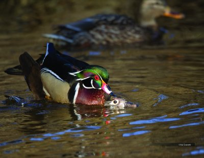 Making More Wood Ducks