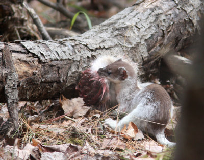 Long-tailed Weasel with Snowshoe Hare 7