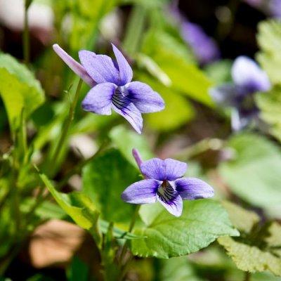 Longspur Violet 3