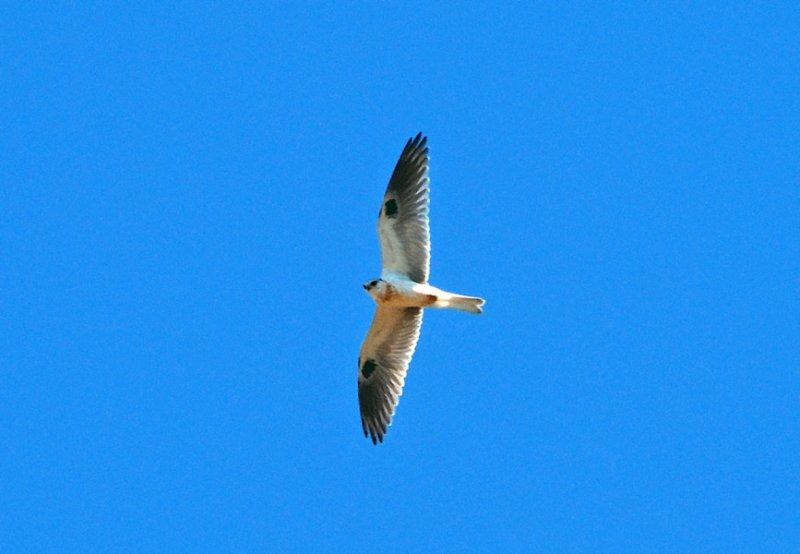 White-tailed Kite - juvenile