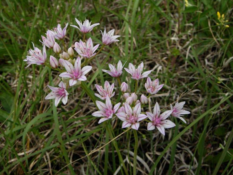 Wild Onion (Allium species)