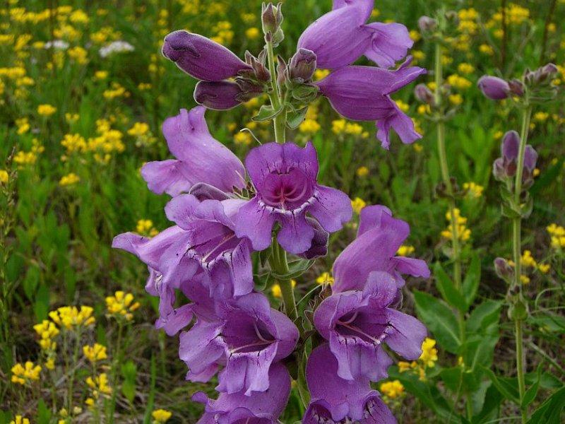 Purple Beard-tongue (Penstemon cobea)