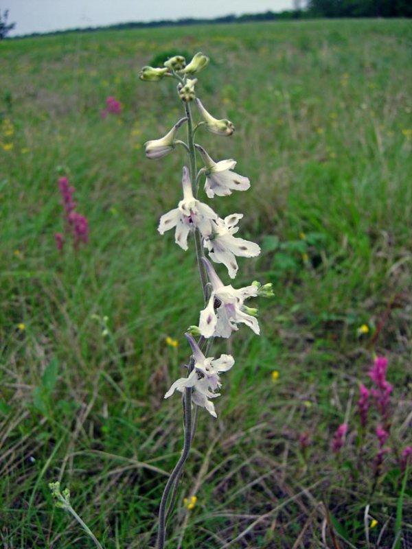 Prairie Larkspur (Delphinium carolinianum ssp. virescens)