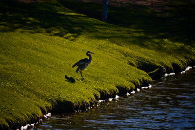 Heron, Green Valley Park, Payson, Arizona, 2011